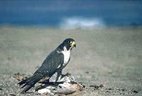 The IUCN evaluated bird taxa of Jardines de la Reina