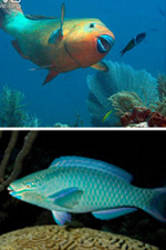 The parrotfishes of the Gardens of the Queen: a colorful family of great ecological importance