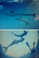 Can remoras scare the silky sharks of the Gardens of the Queen?