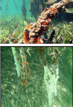 The underwater roots of mangroves, an amazing ecosystem