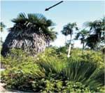 Nature privileges Jardines de la Reina with a unique plant species: the Cuban Petticoat Palm Tree